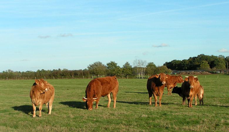 Vaches et génisses