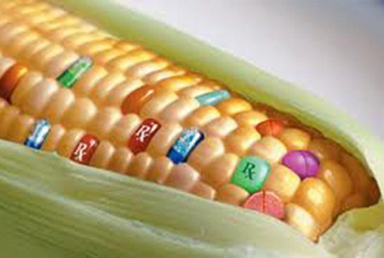 Des OGM vont-ils être cultivés en France ?