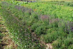 Thym & Hysope Jardin Solstice